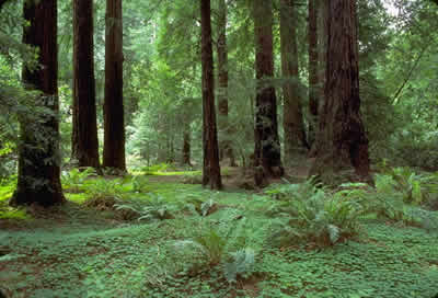 Muir Woods - Old Growth Forest