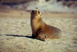 A seal pup on the beach
